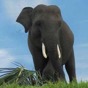 Gajah Sumatera di way kambas