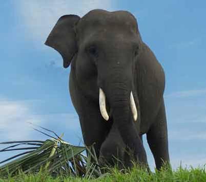 87 Gambar Hewan Gajah Sumatera HD Terbaik